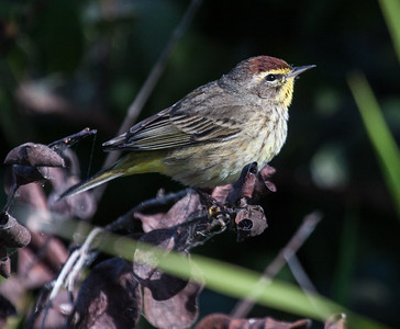 Palm Warblers are migratory songbirds in Maine.