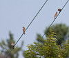 Female House Finches, juvenile being fed, Phippsburg, Maine songbirds summer