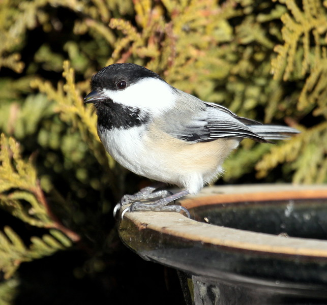 Black-capped Chickadee on birdbath, Phippsburg Maine