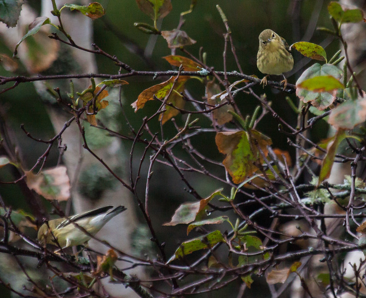 Blackpoll warblers during fall migration, Phippsburg MaineBlackpoll warblers, migtratory songbirds in Phippsburg, Maine