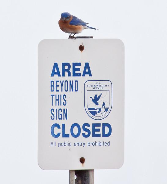 Eastern Bluebird, small, brilliant blue songbird, Maine