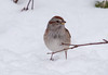 Tree sparrow in snow, winter bird, Phippsburg, Maine, frontal view
