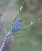 Eastern Bluebird, male perched on snag with lichen, viewed from behind, right facing, migratory songbird, Phippsburg, Maine