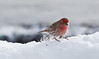 male House finch scratching snow for buried seed, Phippsburg, Maine winter song bird