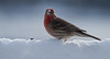 Male House finch in snow with seed, bird with food in winter, Phippsburg, Maine