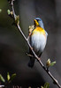 Northern Parula, Phippsburg, Maine migratory song bird. Northern Parulas are common, migratory songbirds in Maine. This one was dining on insects that are around the Black Alder catkins and seed pods left from the previous year. These birds are commonly found in alder swamps. Though not water birds, they are hungry for the insects that abound in this type of habitat.. Northern Parulas are migratory warblers in Maine..  Setophaga americana, Northern Parula is a migratory, songbird in Maine