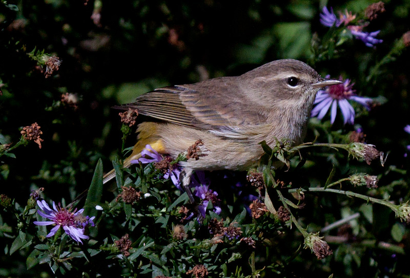 Palm Warbler in fall non breeding plumage, with asters, Phippsburg, Maine migratory songbird
