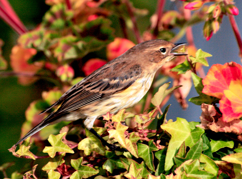 """Yellow-rumped """"Myrtle"""" warbler vocalizing, right facing"""