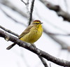 Palm Warbler, breeding plumage, Phippsburg Maine