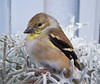 American goldfinch, male perched in Dusty Miller plant, close up frontal view, left facing, Phippsburg Maine songbird