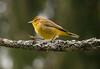 Palm warbler, spring migration, Phippsburg, Maine