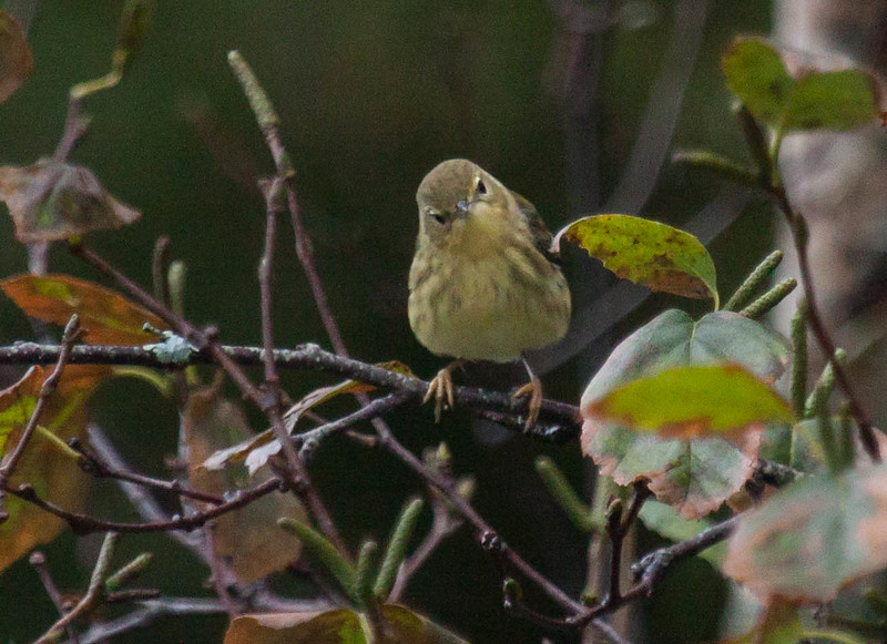 Blackpoll warbler, migtratory songbird in Phippsburg, Maine