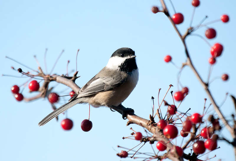 Black Capped Chickadee perched on crab apple branch, adorable little bird, the Maine State bird, Phippsburg, Maine