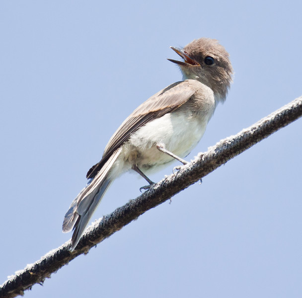 Eastern Phoebe, fledgling, July, summer, Phippsburg, Maine, vocalizing while perched on a wire