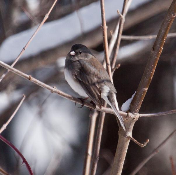 Dark Eyed Junco perched in brush, winter bird, Phippsburg, Maine, side view, forward facing