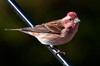Purple finch, male, close up, right facing perched on feeder pole, Phippsburg, Maine
