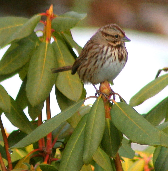 Song Sparrow in rhododendron leaves, Phippsburg, Maine winter bird