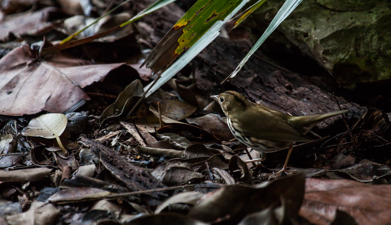 Oven Bird searching for insects on the ground amongst the leaf duff. Seiurus aurocapillus is a migratory songbird in Maine