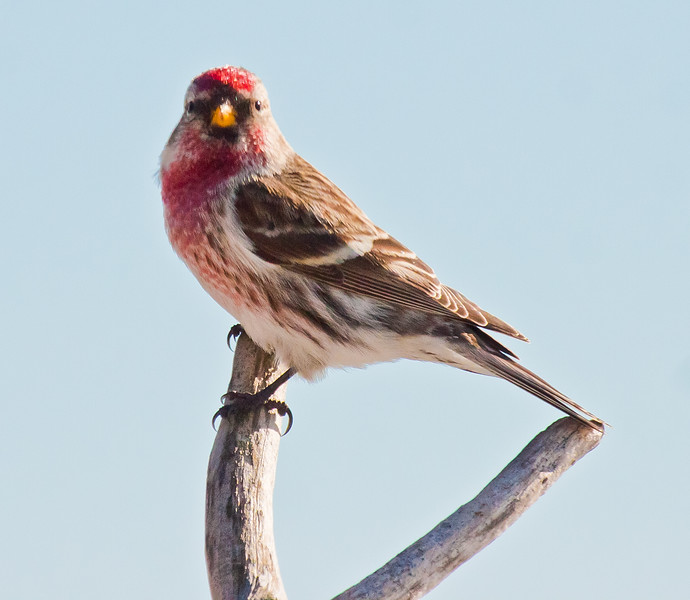 House Finch, male, left facing perched, Phippsburg, Maine