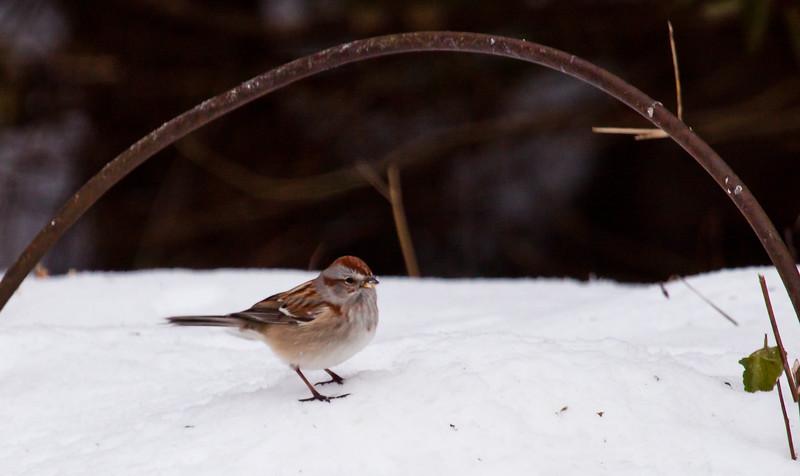 Tree sparrow on snow, winter bird, Phippsburg, Maine, side view, right facing