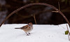 Tree sparrow on snow, winter bird, Phippsburg, Maine, side view, right facing