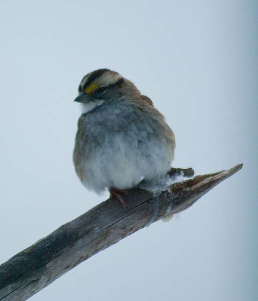 White-throated sparrow, Phippsburg Maine