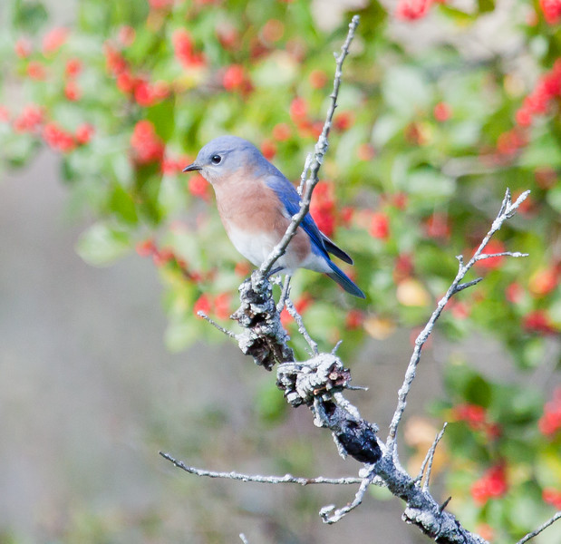 Eastern Bluebird, perched, left facing with winterberry in the background, October, 2012