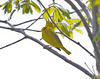 Yellow warbler male vocalizing from the tree canopy, Phippsburg, Maine, spring
