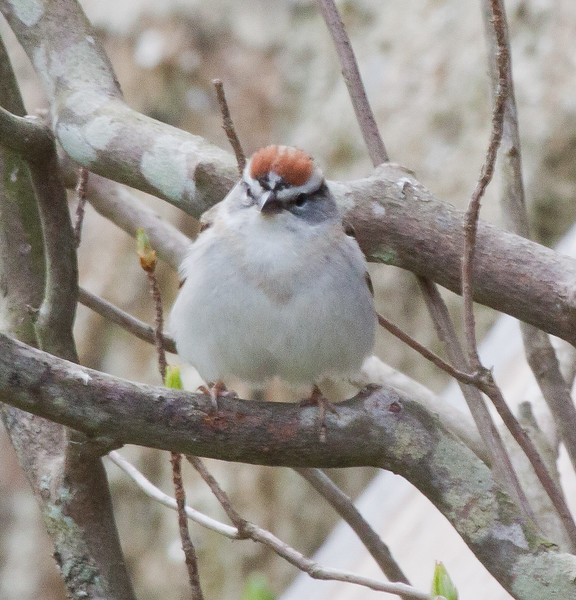 Chipping Sparrow, perched, frontal view, songbird, Phippsburg, Maine