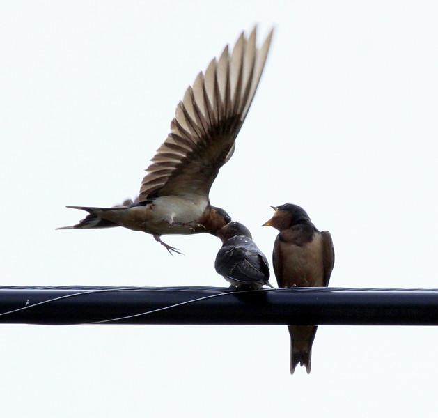 Barn Swallow Feeding Young