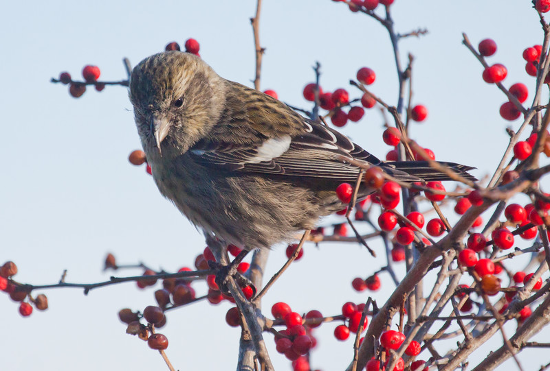 White-winged Crossbill, Female With Winterberries