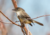 Eastern Phoebe, Phippsburg, Maine, April 22, 2015
