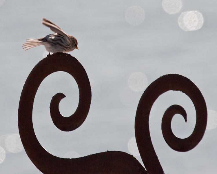 Common Redpoll, Phippsburg Maine