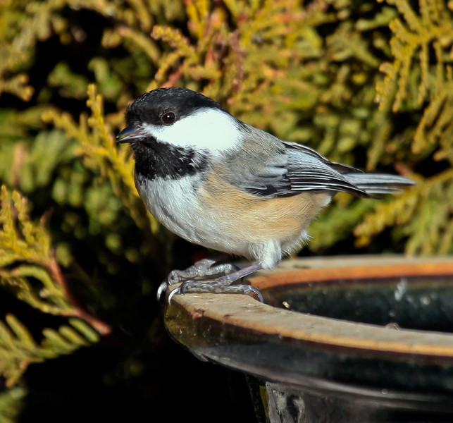 Black-capped chickadee close up frontal view left facing perched on bird bath, Phippsburg, Maine, Maine state bird