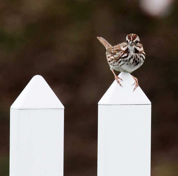 Sparrow On Picket Fence