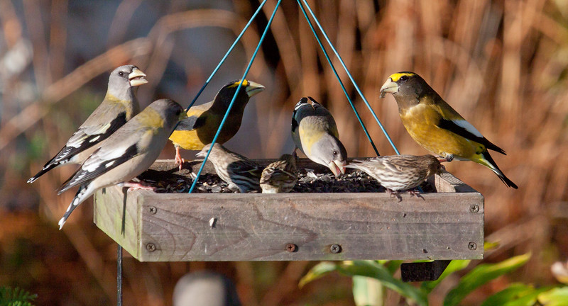 Evening grosbeaks, flock of five, two males, three females (males have more yellow and yellow foreheads) and three Pine Siskins, Phippsburg, Maine