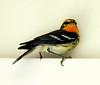 Blackburnian Warbler, Phippsburg Maine