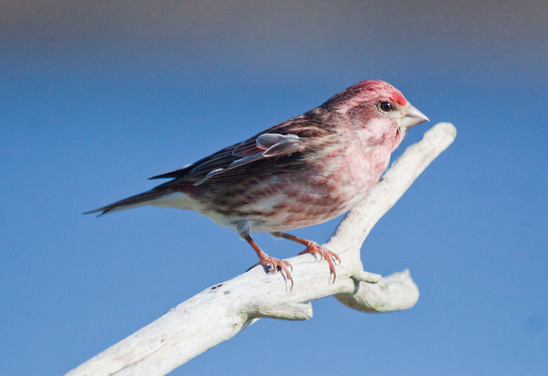 Purple Finch male perched right facing, small Phippsburg Maine bird