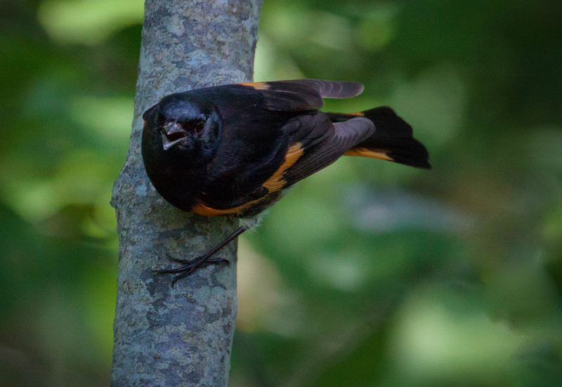 American Redstart, singing male, early June, Phippsburg, Maine. Redstarts are migratory in Maine. They are members of the family of Wood-warblers. Male redstarts are quite territorialy aggressive. They will respond to pishing, as this one did to defend their territory.