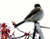 Eastern Phoebe with maple flowers, spring, Phippsburg Maine