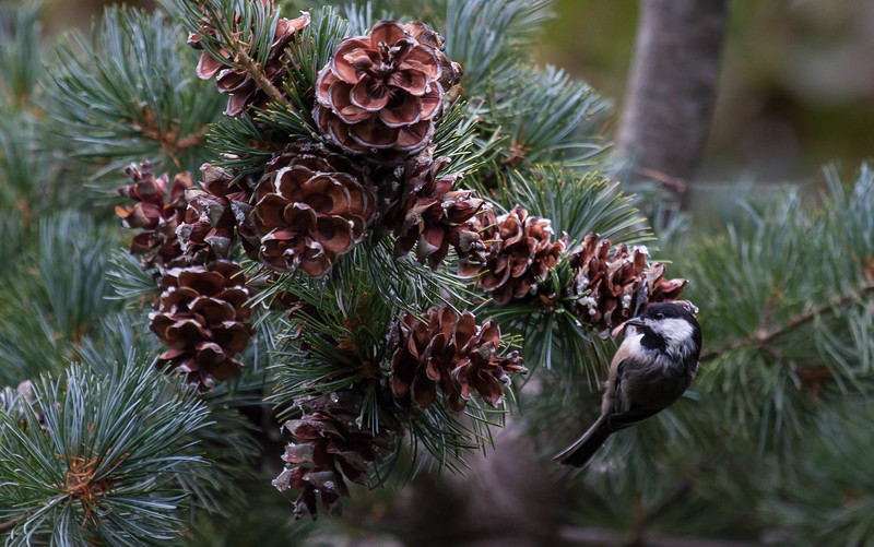 The Black Capped Chickadee is Maine's State bird. It is seen here eating pine cone seed from a White Pine cone. White Pines are Maine's State  flower. The pine cone is the Maine State Flower. Phippsburg, Maine