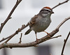Tree Sparrow close up frontal view, Phippsburg, Maine, perched on branches
