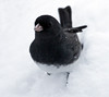 "Slate colored junco, frontal view, close up, standing in fresh snow, Phippsburg, Maine winter bird. Some people call juncos ""Snowbirds."""