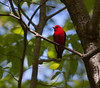 Scarlet Tanagers are migratory in Maine