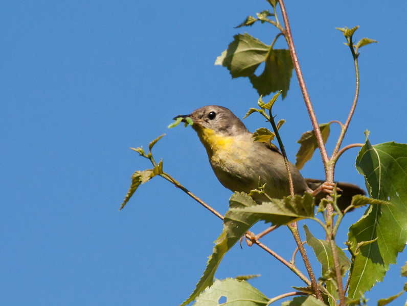 Common Yellowthroat Warbler, Geothlypis trichas.  Common Yellowthroat warbler Geothlypis trichas, female with caterpillars to feed her chicks,  Phippsburg Maine late July,  Common Yellowthroat warbler Geothlypis trichas