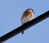 Eastern Bluebird, male perched on wire, frontal view, right facing, Sebasco Harbor, January 17, 2013, winter bird