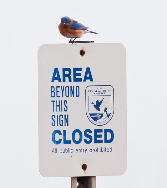Eastern Bluebird, Brigantine, New Jersey Edmund B. Forysythe preserve