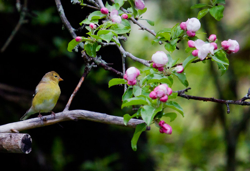 American Goldfinch, female perched in apple tree with flowers, frontal view, right facing, yellow, spring bird, Phippsburg, Maine