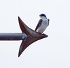 Tree Swallow perched on arrow tip of antique copper weathervane directional, spring bird, Phippsburg, Maine, great card stock photo