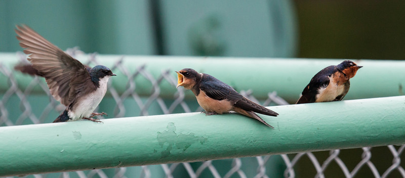 A Barn swallow squawks at a Tree swallow while a second Barn swallow seems to look away in disgust. Maine, young birds